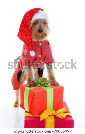 Christmas yorkie in Santa Claus hat. Isolated on white background