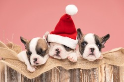 christmassy three french bulldog puppies with christmas hat resting and sleeping in a burlap sack in a wooden box