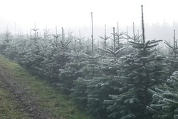 christmastree plantation on a foggy day