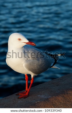 Chroicocephalus novaehollandiae, the Australian seagull, by the water's edge