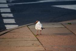 Chroicocephalus ridibundus black headed gull bird standing on pavement waiting to cross the street looking left
