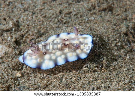 Chromodoris hintuanensis nudibranch #1305835387