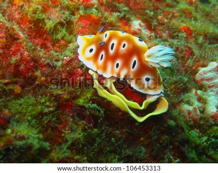 Chromodoris Leopard, a kind of sea slug. This shot was taken at Similan Island, Andaman sea, Thailand while she's spawning.