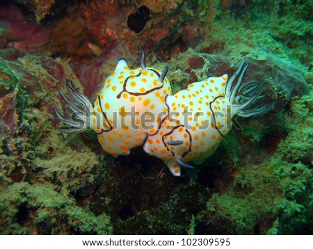Chromodoris Nudibranch slug - Thailand