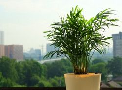 Chrysalidocarpus Areca palm tree in a yellow flower pot stands on the windowsill. Through the window glass, you can see the blurred outlines of the city.