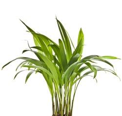 Chrysalidocarpus lutescens palm tree isolated on white