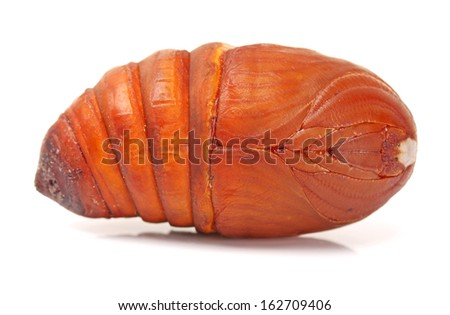chrysalis silkworm ,silk worm cocoon on white background