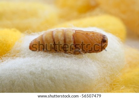 chrysalis silkworm up over silk worm cocoon