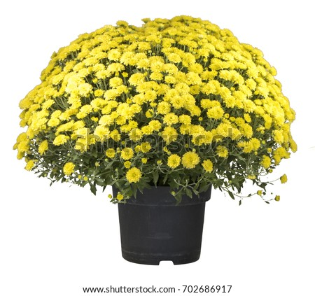 chrysanthemum #702686917