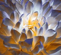 Chrysanthemum  blue-yellow-white blossom. Background of a chrysanthemum flower close-up. Macro. Nature.