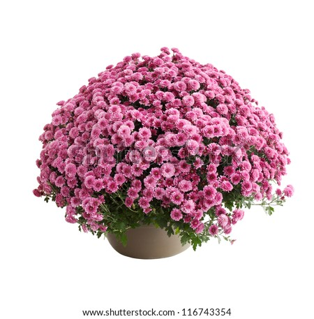 Chrysanthemum bush cultivar Belgo Lilac isolated on white