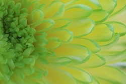 Chrysanthemum flower,closeup of green with yellow Chrysanthemum flower in full bloom