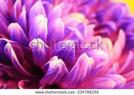 Chrysanthemum flower,closeup of purple Chrysanthemum flower in full bloom