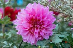 chrysanthemum flower - garden flower- Background