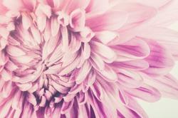 Chrysanthemum flower macro flower in the nature or in the garden