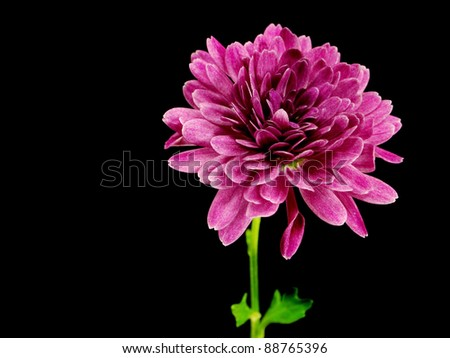 chrysanthemum flower on a black background