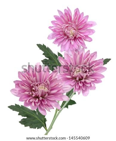 Chrysanthemum flower on a white background  - stock photo