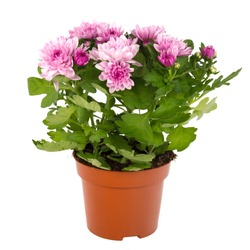 Chrysanthemum flower on flowerpot, isolated on perfect white background, stock photography