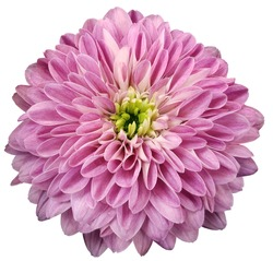 chrysanthemum  flower  pink.  Flower isolated on a white background. No shadows with clipping path. Close-up. Nature.