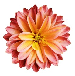 Chrysanthemum flower red-yellow   on a white isolated background with clipping path  no shadows.  Closeup.   For design.   Nature.
