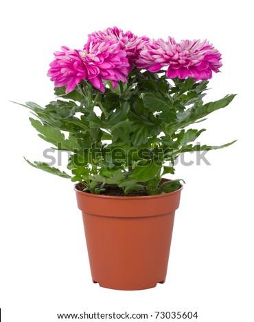 chrysanthemum flowers in pot