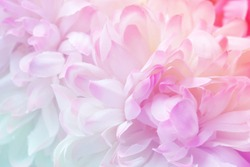 Chrysanthemum flowers in soft pastel color and blur style for background