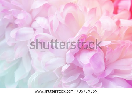 Chrysanthemum flowers in soft pastel color and blur style for background #705779359