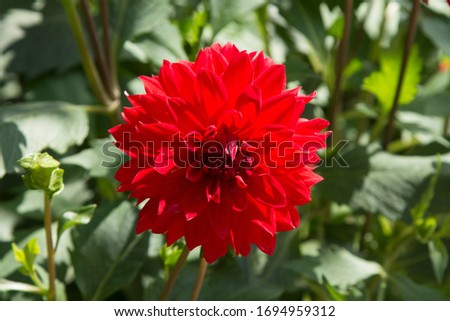 Chrysanthemum flowers in the garden. spring entry concept Foto stock ©