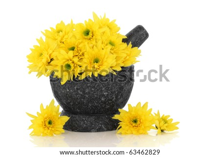 Chrysanthemum flowers used in traditional chinese herbal medicine in a granite mortar with pestle,  isolated over white background with reflection.