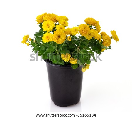 chrysanthemum flowers with green leaves in a pot