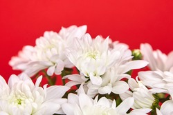 Chrysanthemum flowers with white petals. Chrysanthemum plant, bouquet, houseplant on red background, selective focus