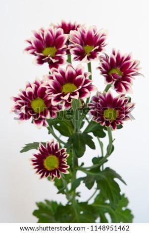 Chrysanthemum Indicum Grp spray Haydar