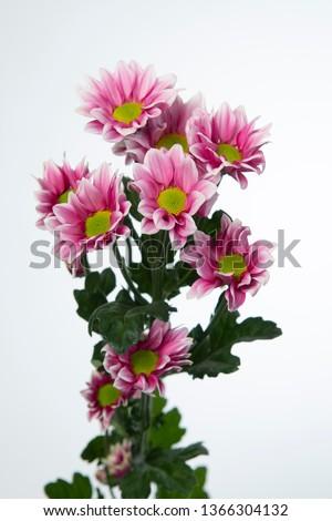 Chrysanthemum Indicum Grp spray Haydar Pink