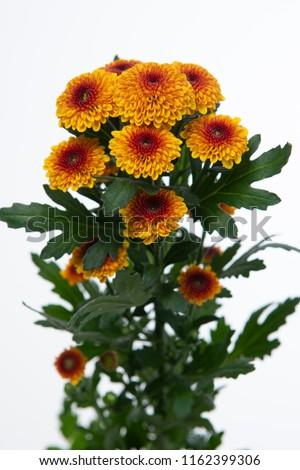 Chrysanthemum Indicum Grp spray santini Tammy Zdjęcia stock ©
