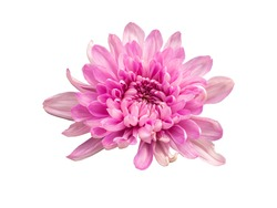 Chrysanthemum isolated on white background with clipping path.