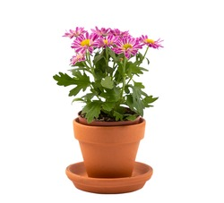 chrysanthemum multiflora flower in pot isolated for valentine's day or anniversary on white background.