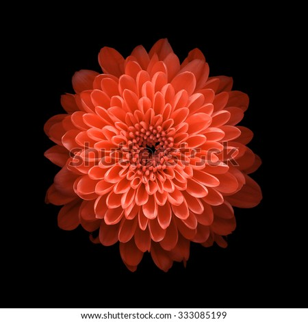 Chrysanthemum on black background #333085199