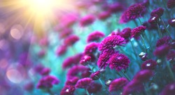 Chrysanthemum violet flowers blooming in a garden. Beauty autumn flowers art design. Bright vivid colors. Nature background. Autumn Backdrop
