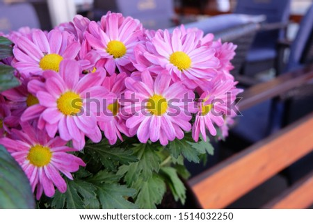 Chrysanthemums, daisies, lavender Flowers that show innocence, innocence, show kindness to one another, represent love, honesty, loyalty, cleanliness, white. Daisy originates in Europe. And Asia Minor #1514032250