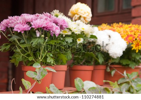 chrysanthemums in pots on the balcony