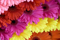Chrysanthemums of pink, red, violet, yellow and orange color displayed in rows at flower show