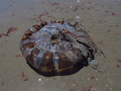 Chrysaora plocamia. Jellyfish that you can find on summer on the beaches of northern Chile