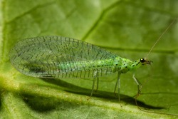 Chrysoperla carnea, known as the common green lacewing, is an insect in the Chrysopidae family