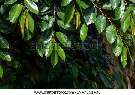 Chrysophyllum cainito, a tropical tree of the family Sapotaceae. This plant is also known as golden leaf tree, pomme de lait, estrella, aguay, sawo duren, sawo bludru or sawo ijo. Foto stock ©