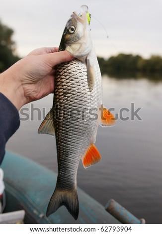 Chub caught on a green hardbait against river landscape