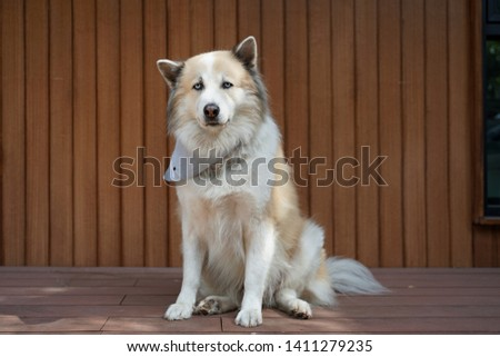 Chubby blue eyes mixed dog wearing bandana sitting on the timber floor with timber wall background