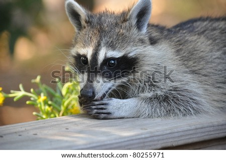 Chuckling Coon - stock photo