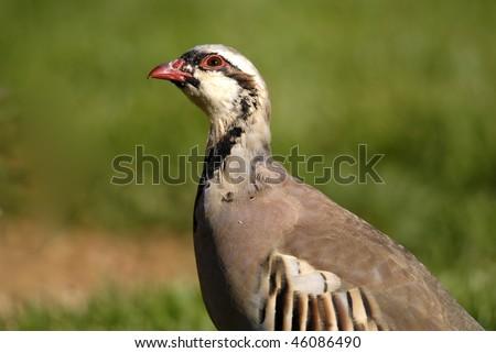 Chukar, or Chukar Partridge, with head cocked curiously as it feeds  in Kodachrome Basin State Park, Utah.