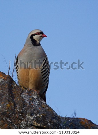 "Chukar Partridge in rocky habitat with clear blue sky, northern Washington, near the Canada border; Pacific Northwest wildlife / bird / nature; ""The National Bird of Pakistan"""
