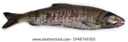 Chum salmon (dog salmon, Siberian salmon, keta salmon) isolated on white. Male bright fish, breeding season. High resolution